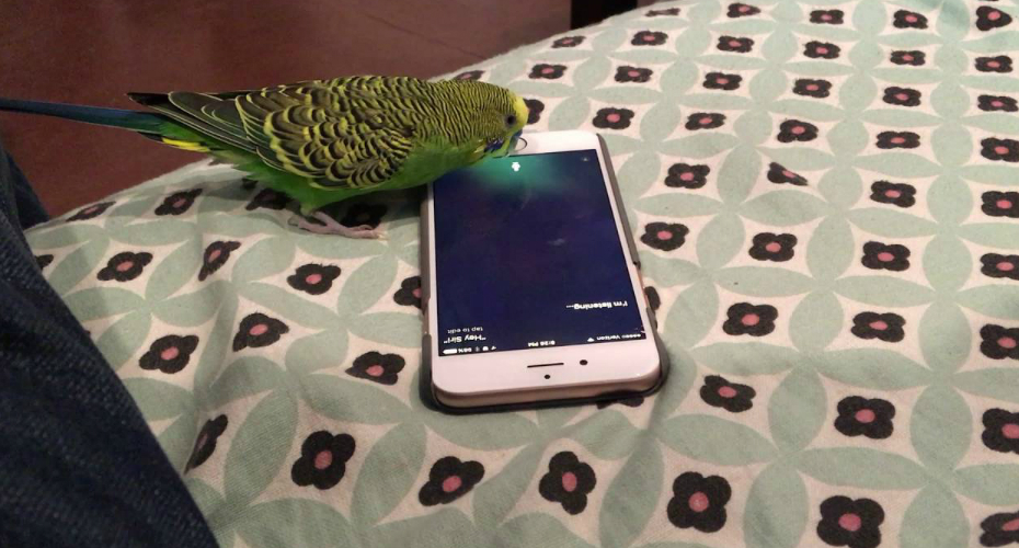 "Talking Parakeet Activates Siri On The Iphone By Saying ""Hey Siri"" 7"