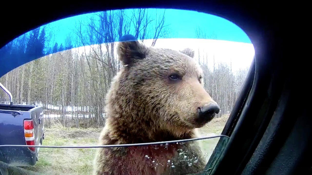Nosey Bear Peers Into Car Window Looking For Food 9