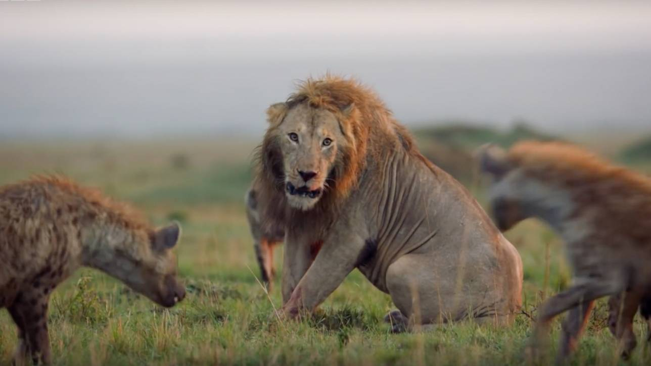 Young Male Lion Attacked By Pack Of 20 Hyenas 1