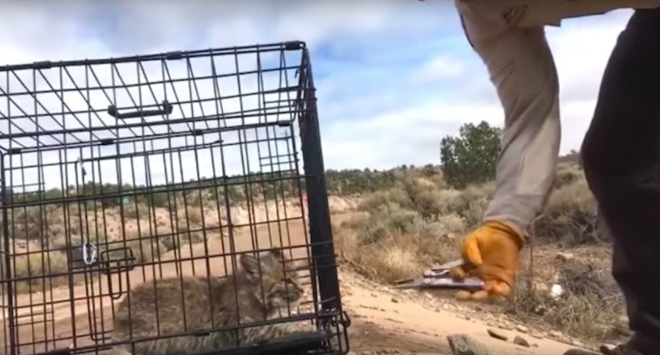 Cranky Bobcat Kitten Threatens The Humans Opening His Carrier Before Releasing Himself Into The Wild 5