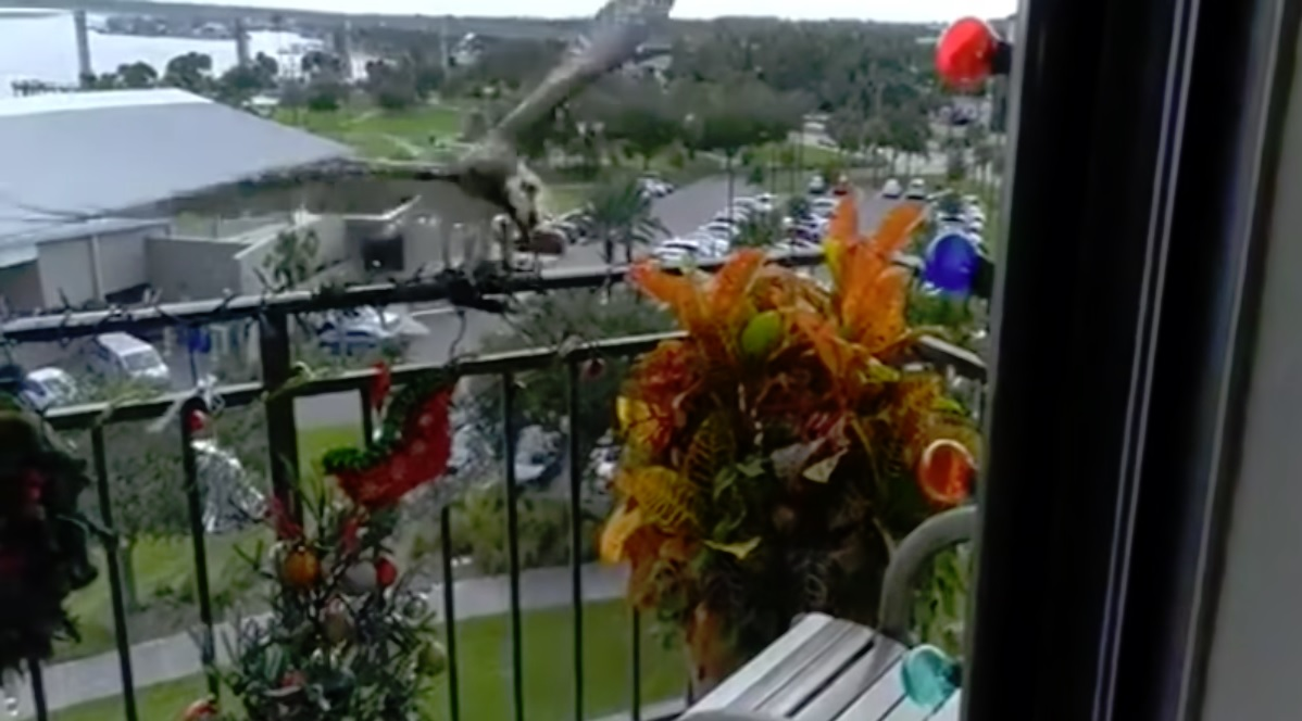 Hawk Comes For Cat, But Gets Hung Up In Balcony Christmas Lights 9