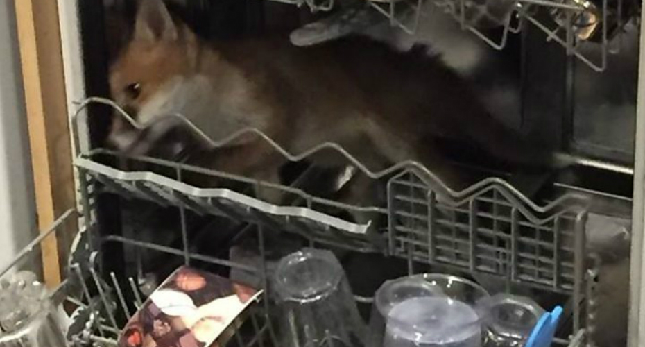 Man Finds Fox Stuck In His Dishwasher 6