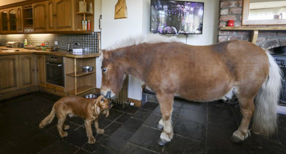 32-Inch Shetland Pony Living With Owner Thinks It's a Dog 9