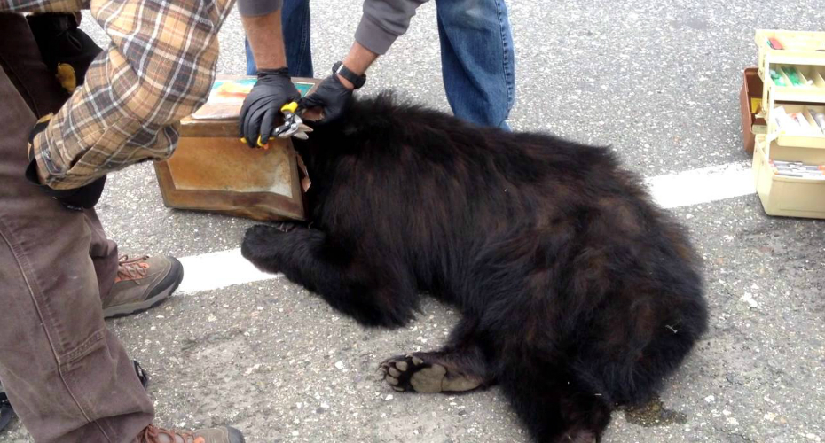 Bear Gets Head Stuck In Can, Officials Jump To Aid 3