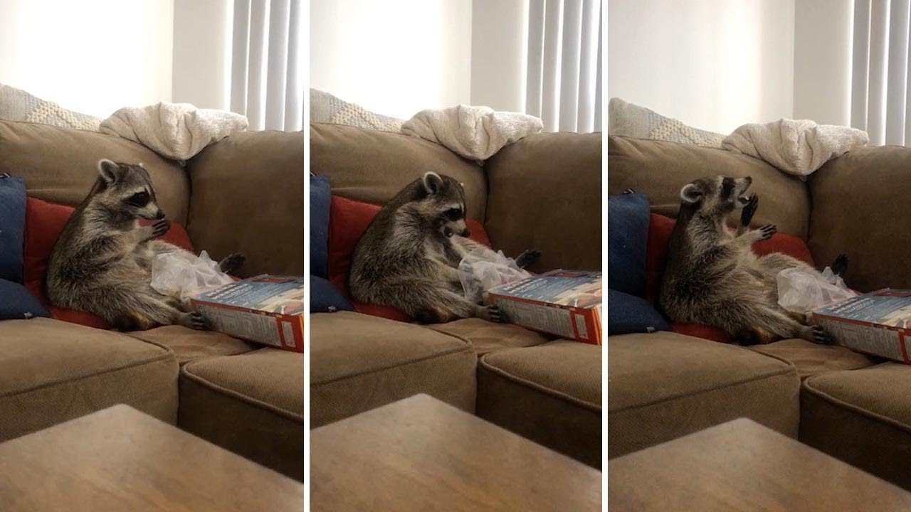 Lazy Raccoon Chills Out On Couch Eating Cereal From Box 7