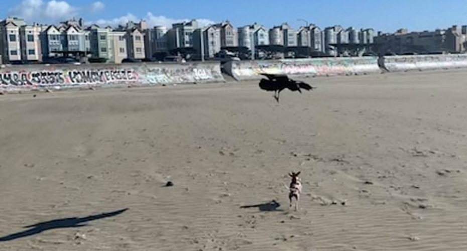 An Unlikely Duo: Crow And Chihuahua Chase Each Other Playfully At Beach 1