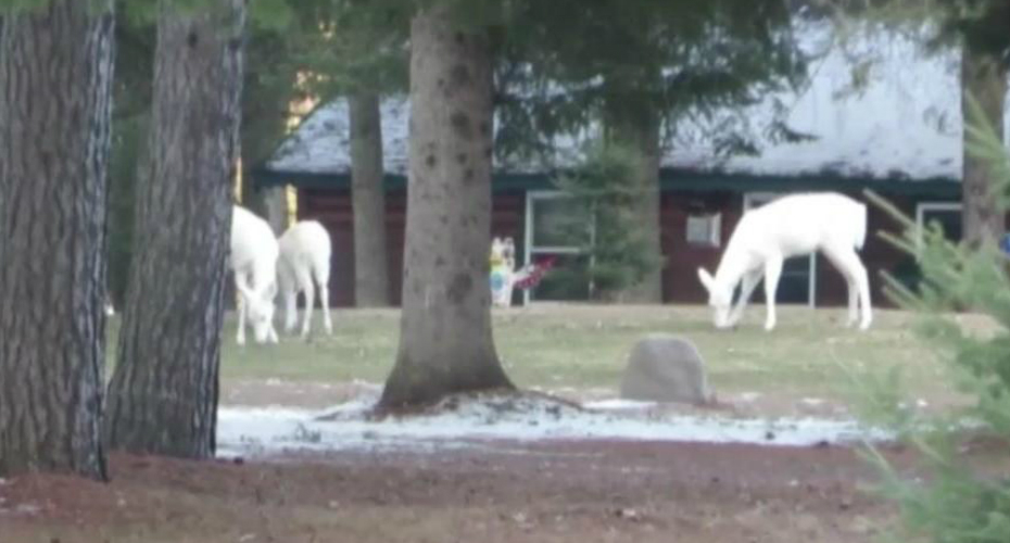 Man Spots Three Albino Deer In A Yard 1