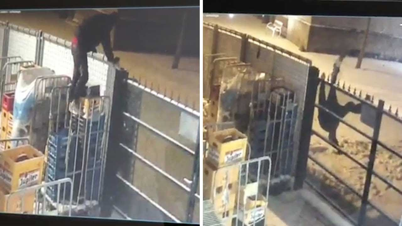 CCTV Captures Moment Beer Thief Gets Stuck In Fence 2