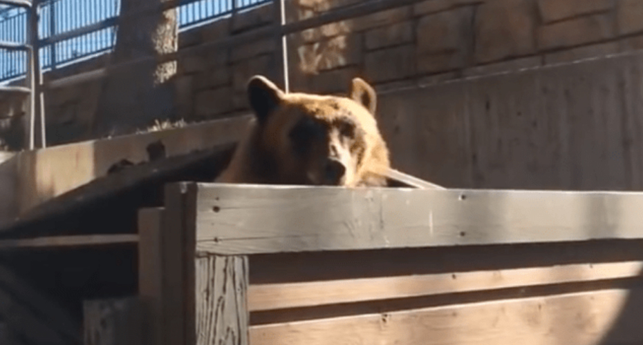 Bonehead With No Fear Chastises Dumpster-Diving Bear 3