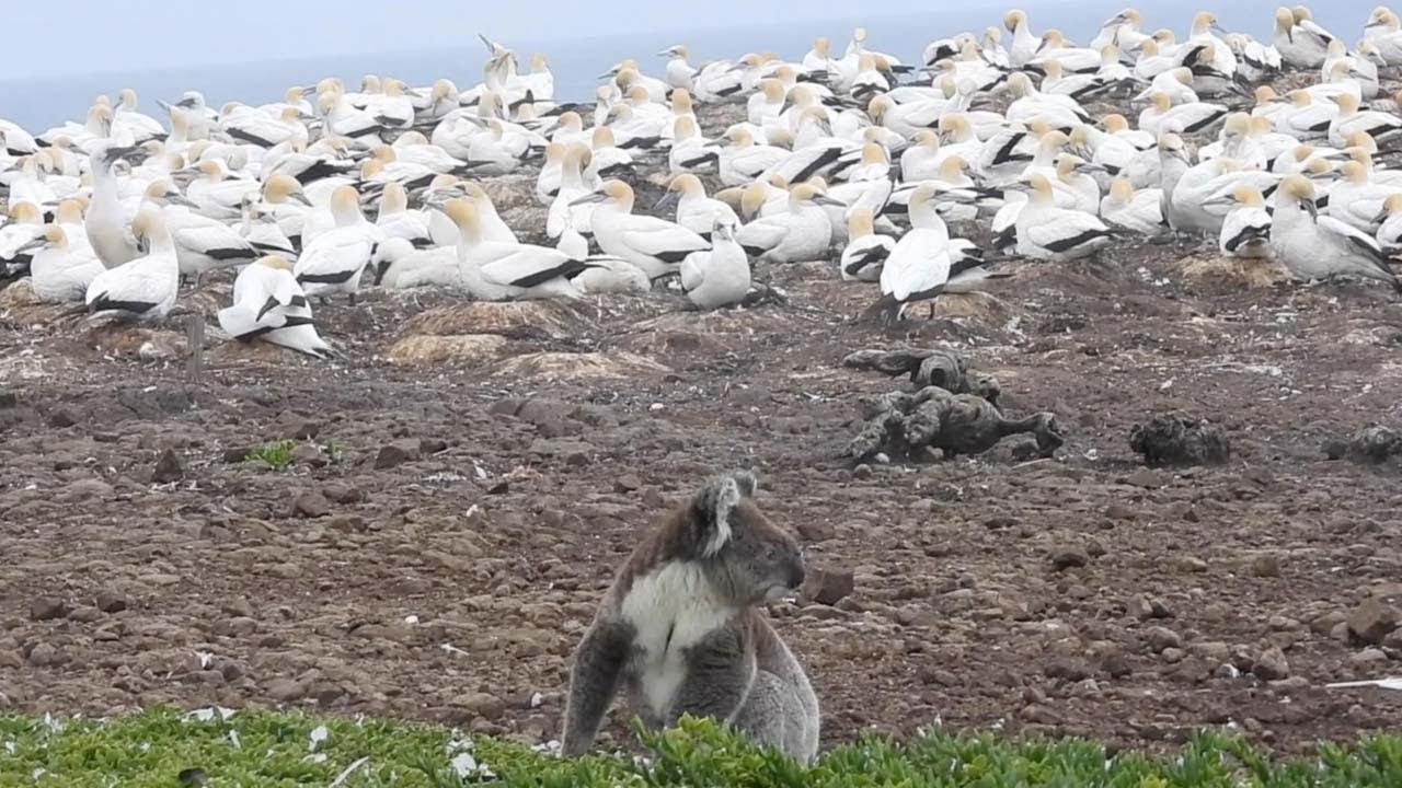 Koala Caught In The Middle Of Large Flock Of Seabirds 8