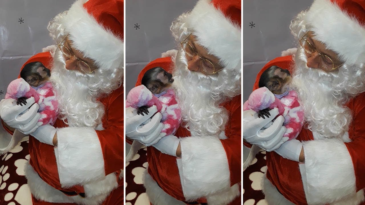 Adorable Moment Capuchin Monkey Meets Santa Claus 8