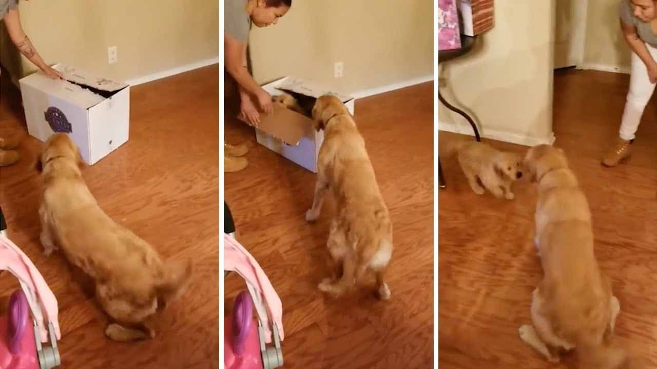 Adorable Moment Dog Unwraps Puppy For Christmas 6