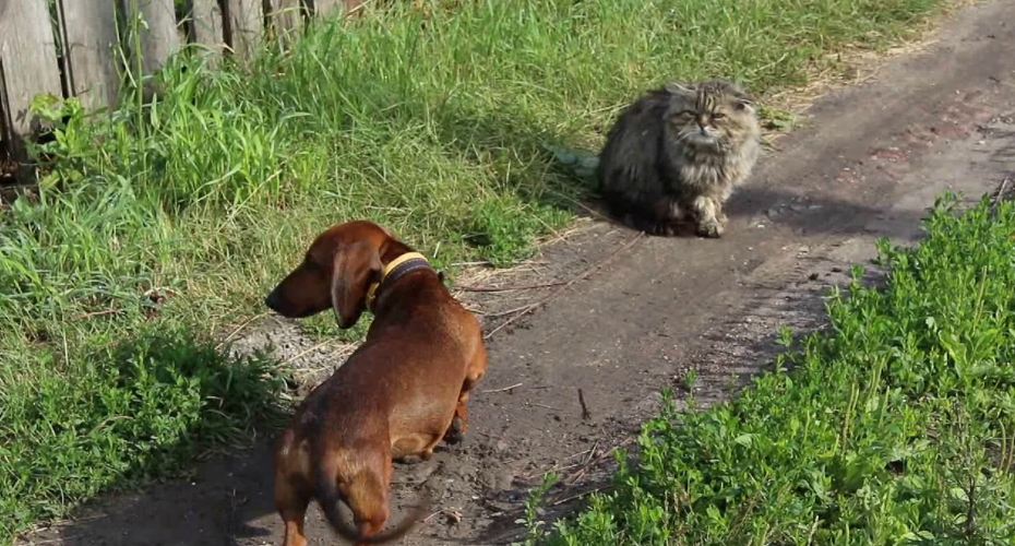 Funny Cat Isn't At All Impressed With The Dachshund Barking At It 5