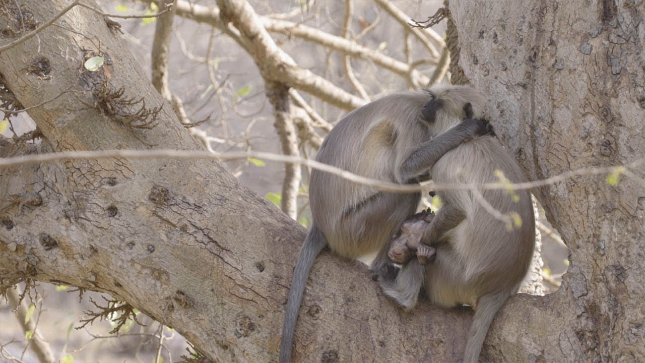Heartbreaking Moment Grieving Mother Monkey Won't Leave Infant's Side 3