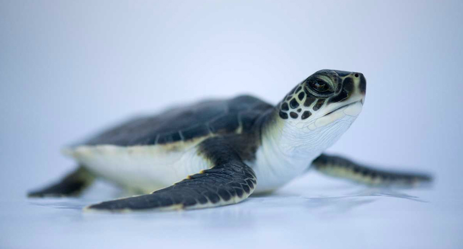 Watch A Baby Sea Turtle Being Hypnotised So It Can Be Weighed 9
