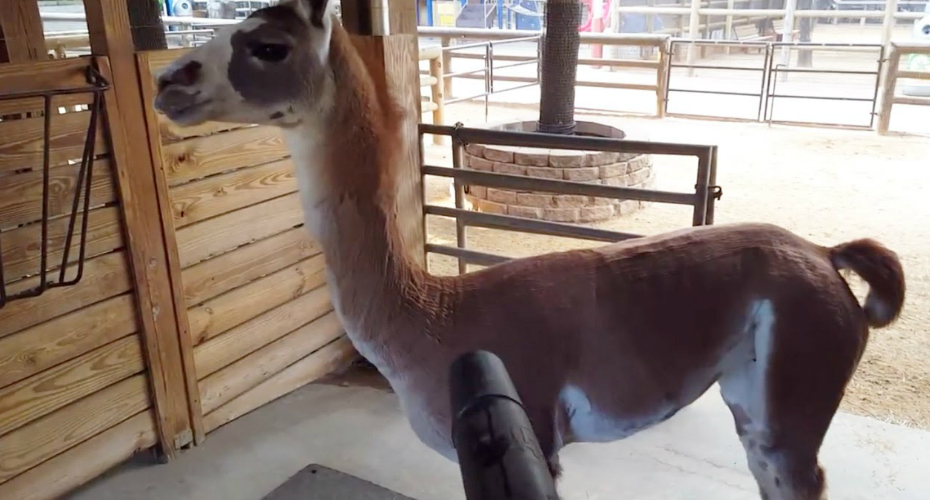 This Llama Frickin Loves His Zookeeper's Leaf Blower 8