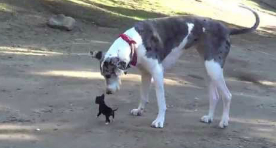 Tiny Puppy Meets A Great Dane And Has The Time Of His Life 1
