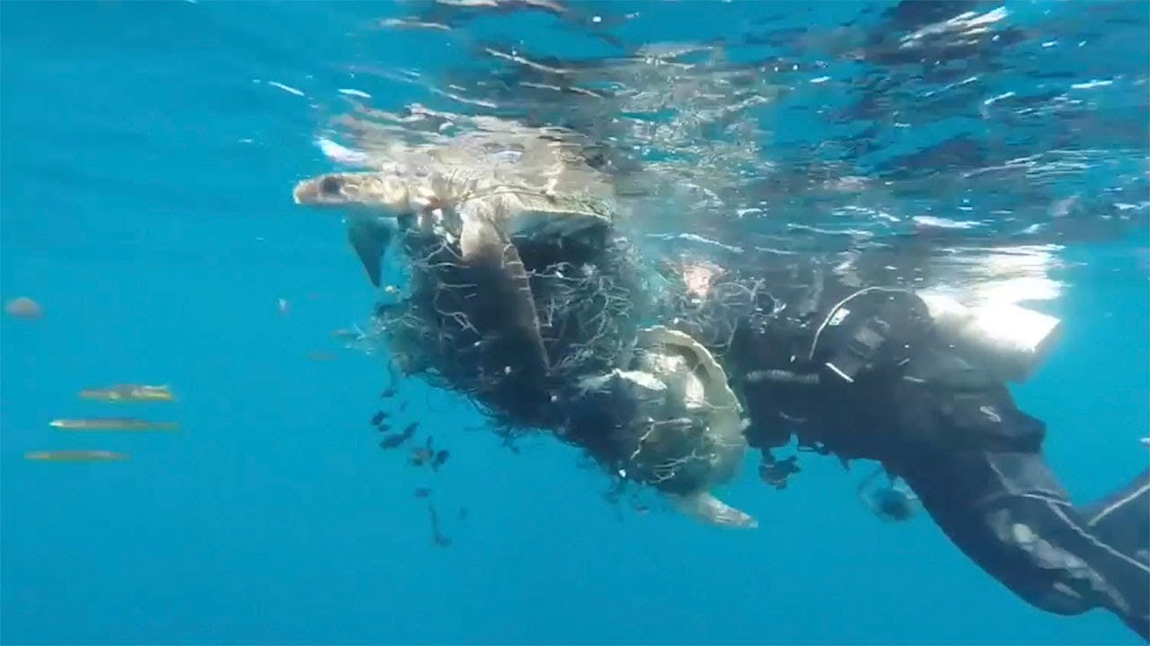 Divers Rescue Turtles Trapped In Nets 4