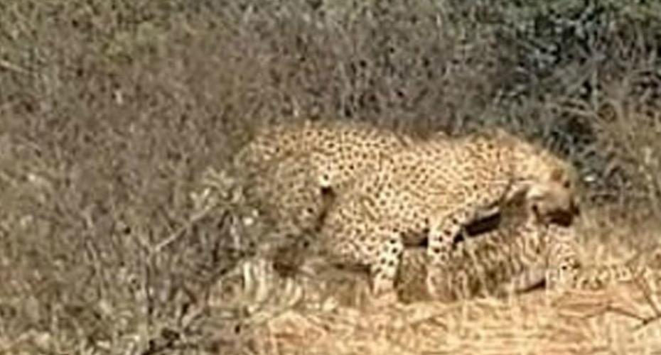 Cheetahs Spotted 'Having A Threesome' At South Africa Wildlife Reserve 4