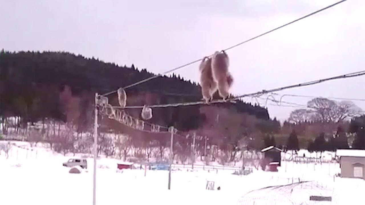 Monkeys Clamber Across Wires Between Homes 5