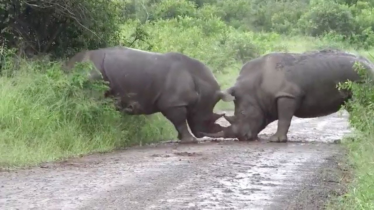 Rhino Spotted Fighting With Another Rhino 4